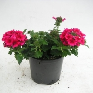 Verbena Hot Rose
